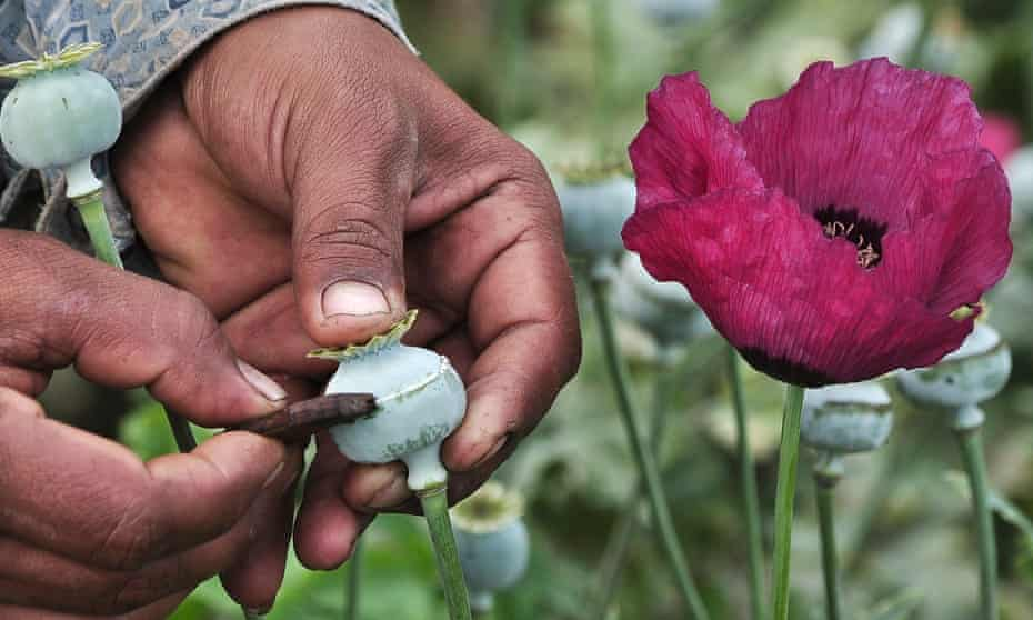 """A man lancing a poppy bulb to extract the basis for opium. Researchers have warned that using the new technology, opium poppy farms could be replaced by morphine """"breweries""""."""