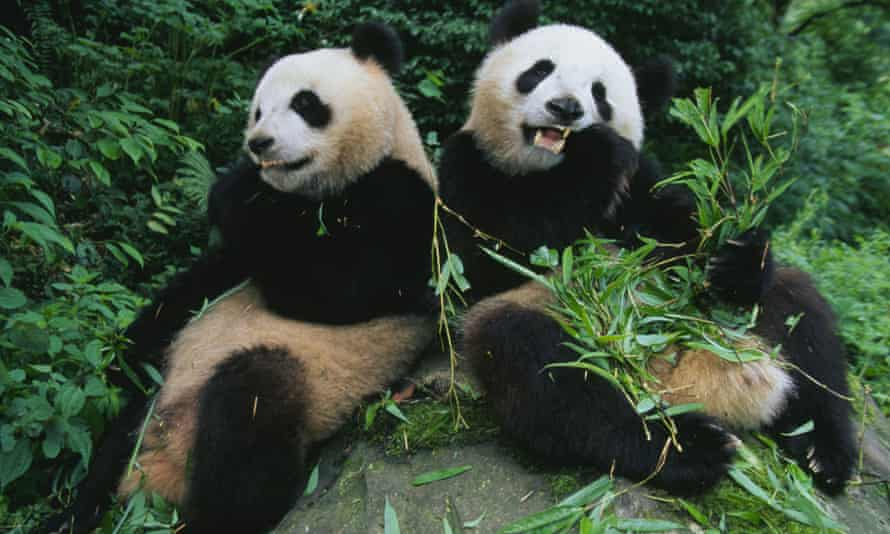 Pandas spend up to 14 hours a day eating, but only digest about 17% of the total, making it necessary to sleep for up to 12 hours to conserve energy.