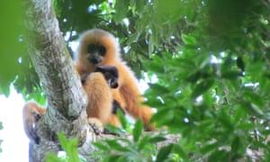 Hainan gibbon female with infant