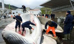 Whalers cut open a 35-tonne fin whale