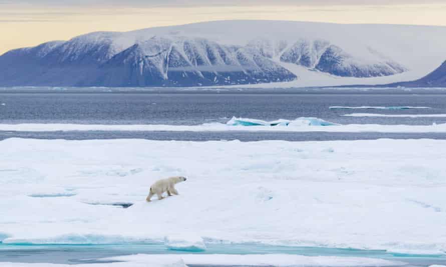 polar bear canadian arctic