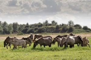 Konik horses on Wicken Fen.