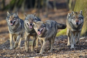 Some say wolves should be introduced to control deer numbers in parts of Scotland.