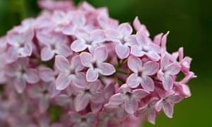 Syringa vulgaris (close up of common lilac)