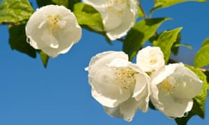 Short and sweet: the Philadelphus is another short-lived beauty.