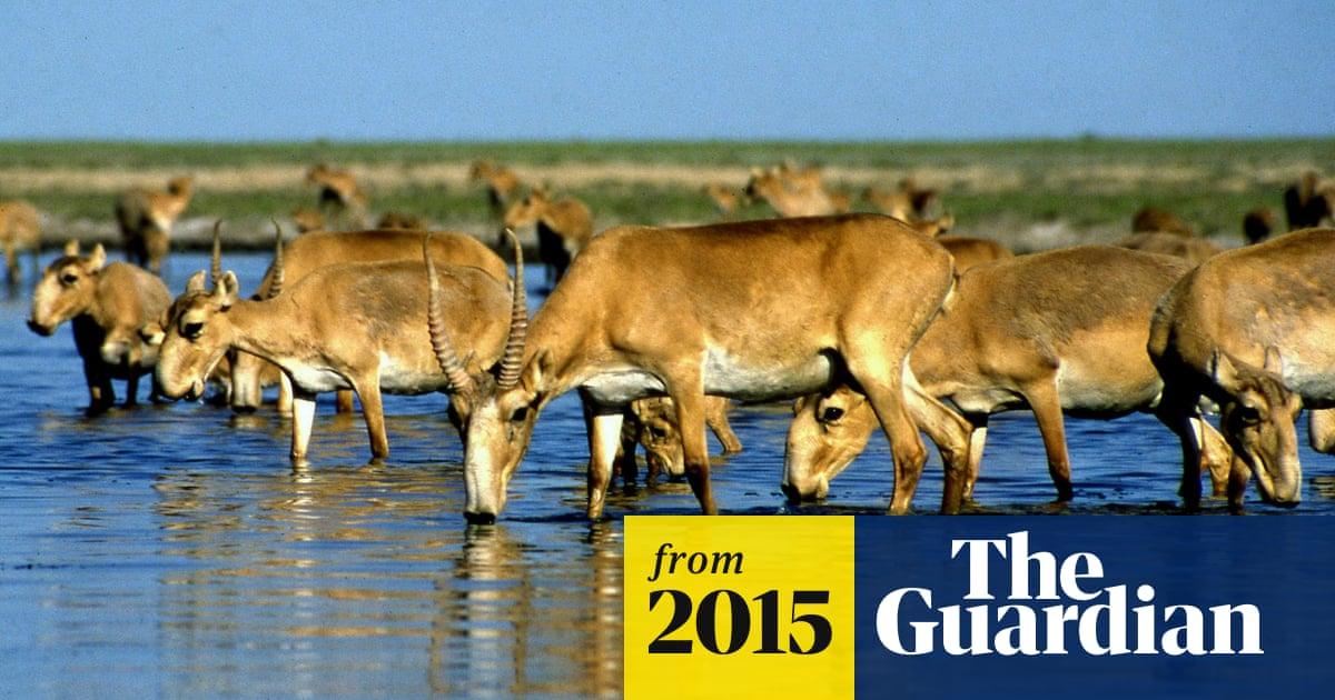 Kazakhstan's mass antelope deaths mystify conservationists