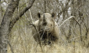 A black male rhinoceros a game farm. Hunting advocates say privately-managed reserves protect wildlife from poaching.