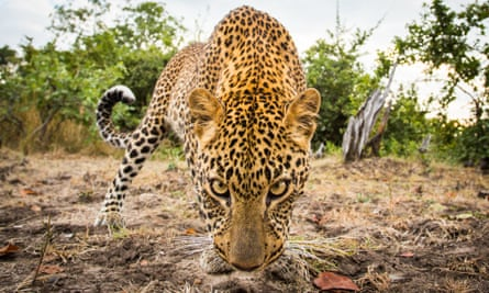 A leopard in Zambia. The country has lifted a two year ban on hunting the animals.