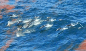 Dolphins swimming through oil after the Deepwater Horizon spill. Large numbers of dolphins have died as a direct result of the spill, new evidence suggests.
