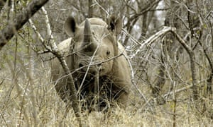 The black rhinoceros is critically endangered.