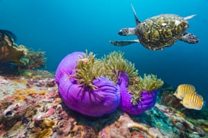 Hawksbill turtle with sea anemones