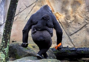A western lowland gorilla baby named Mjukuu, born in October last year, rides on the back of its mother Mbeli at Taronga zoo in Sydney, Australia