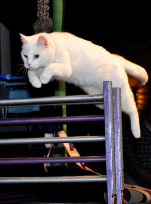 An Acro-Cat jumps over a hurdle.