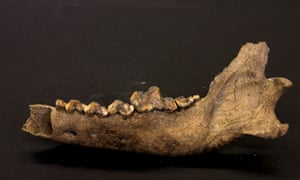 Lower jawbone of Taimyr wolf