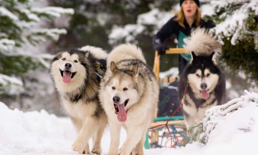Siberian huskies pulling a sled.