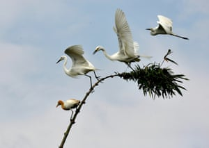 Egrets are seen on branches in the Sonitpur district of the Assam state in India, 21 May 2015. During this season of the year hundreds of egrets build their nests for breading in this north-eastern Indian region
