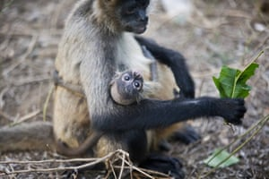 Panchito, a 2-month-old, black-handed spider monkey, clings to its mother, at the National Zoo's rescue center, in Managua, Nicaragua, Wednesday, May 20, 2015. The mother, who has been housed at the rescue center for over a year, was rescued from animal traffickers.