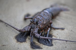 An oil-covered lobster lies dead on the beach after an oil spill near Refugio State Beach on May 20, 2015 north of Goleta, California. About 21,000 gallons spilled from an abandoned pipeline on the land near Refugio State Beach, spreading over about four miles of beach within hours. The largest oil spill ever in U.S. waters at the time occurred in the same section of the coast where numerous offshore oil platforms can be seen, giving birth to the modern American environmental movement.