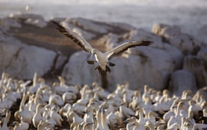 In this photo taken on Saturday, May 16, 2015, a gannet bird comes in for a landing amongst other gannets  on a island at the town of  Lambert s Bay, South Africa. Loud shrieking calls and the pungent smell of droppings from thousands of Cape gannet birds greet visitors to the Lambert s Bay Bird Island nature reserve off South Africa s west coast.