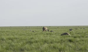 Saiga antelope with a baby grazes next to carcasses of dead antelopes lying on a field, in the Zholoba area of the Kostanay region, Kazakhstan, in this handout photo provided on May 20, 2015 by Kazakhstan's Ministry of Agriculture. About 20,000 endangered Saiga antelopes, killed by a suspected pasteurellosis infection, were found dead in Kazakhstan in a week, local media reported.