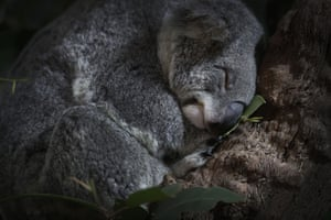 A koala sleeps in its new enclosure at the Singapore Zoo, Wednesday, May 20, 2015, in Singapore. Four koalas originating from Brisbane's Lone Pine Koala Sanctuary, will stay at the Singapore Zoo until January 2016 before returning to Australia. The Singapore Zoo is also known for its efforts in promoting and educating the public about the importance of wildlife conservation through its educational programs and through the breeding of endangered species in captivity. Koalas are considered 'vulnerable' and are threatened by habitat loss and encroachment.
