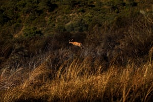 A deer runs away from a wildfire in Benahavis, southern Spain, May 19, 2015.