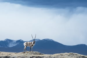 A Tibetan antelope is seen in Hoh Xil, northwest China's Qinghai Province, May 18, 2015. Pregnant Tibetan antelopes have begun their annual migration to the birth grounds in the heart of the Hoh Xil nature reserve 10 days earlier than normal, according to the reserve's management bureau.