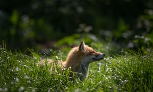 A resident fox is seen at Secret World Wildlife Rescue in East Huntspill near Highbridge on May 18, 2015 in Somerset, England.  Prime Minister David Cameron pledged that the MPs would be given a free vote on scrapping Labour's 10 year-old controversial hunting ban if the Conservatives won the election and some Tory MPs are demanding the vote to be included in this month's Queen Speech. However the threat of the repeal of the act has raised serious concerns with a number of animal welfare charities who are opposed to hunting.