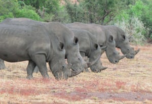 APRIL 2015: 43 years old Deputy Principal, Graeme Mitchley captured this unusual picture of a group of rhinos s perfectly in a row in Kruger National Park, South Africa.   I sat with this crash of five rhino for at least half an hour. They came closer and closer and managed to get them in a row. With all the poaching going on at the moment it is rare to see five together, let alone get them in a row , says the amateur wildlife photographer.