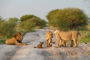 The pride of lines gather near the fox on April 11, 2015, in Kalahari Game Reserve, Botswana.  A pride of lions left with their tails between their legs, after being scared off by a snarling fox. The fierce critter even bit a lioness on the nose when it was attacked at the Central Kalahari Game Reserve in Botswana.