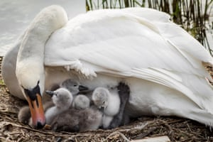15 May 2015, London, England, UK --- London, United Kingdom. 15th May 2015 -- Nesting swan with her one day old signet hatchlings on Canada Water freshwater lake, part of the wildlife refuge in Rotherhithe in the Docklands in south-east London. -