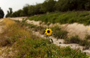 A lone flower grows near an irrigation channel normally flowing with water on a 1,000-acre farm that grows sweet potatoes, almonds, peaches and walnuts, near Livingston, California April 21, 2015. California water regulators have adopted the state's first rules for mandatory cutbacks in urban water use as the region's catastrophic drought enters its fourth year. Urban users will be hardest hit, even though they account for only 20 percent of state water consumption, while the state's massive agricultural sector, which the Public Policy Institute of California says uses 80 percent of human-related consumption, has been exempted.