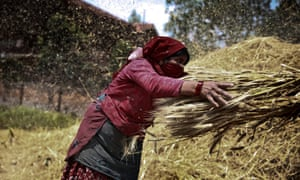 A farmer gathers wheat in a field in Bhaktapur, Nepal. Thousands of tons of stored crops were destroyed as a result of the recent earthquakes and farmers have not, until now, been able to harvest their crops