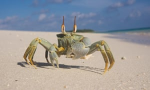 Ghost crab in Chagos