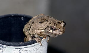 Grey Treefrog just warming up for another croak