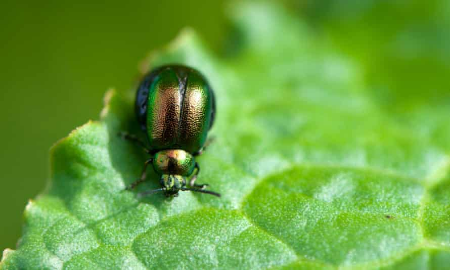 A green dock beetle: on a leaf