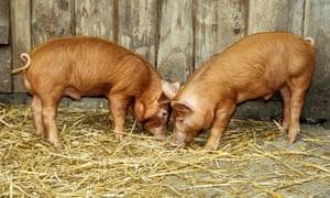 tamworth piglets playing in hay barn