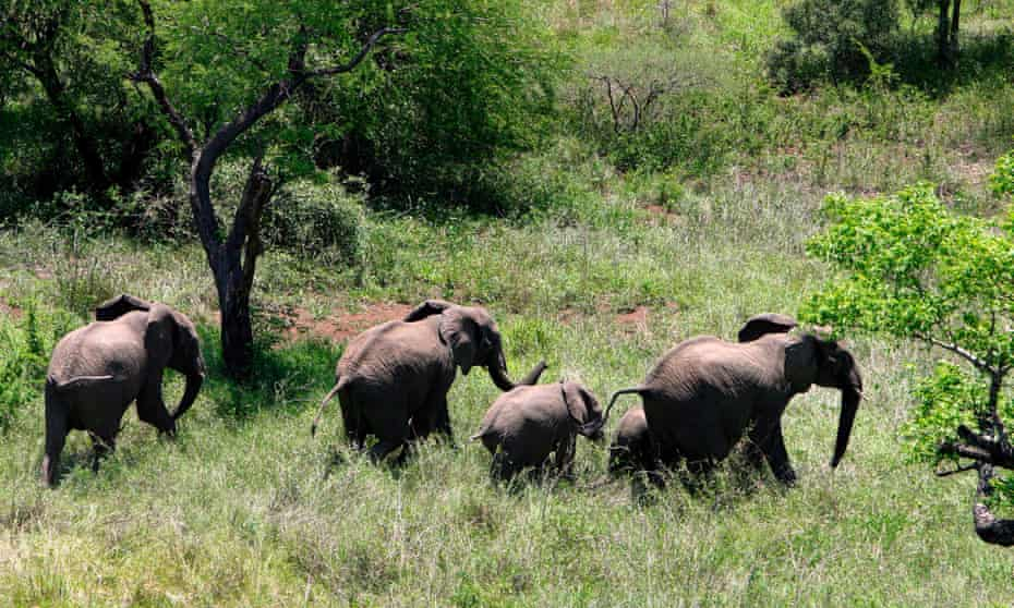 A group of elephants 80km north-east of Maputo, Mozambique. The country has lost around 10,000 elephants to poaching.