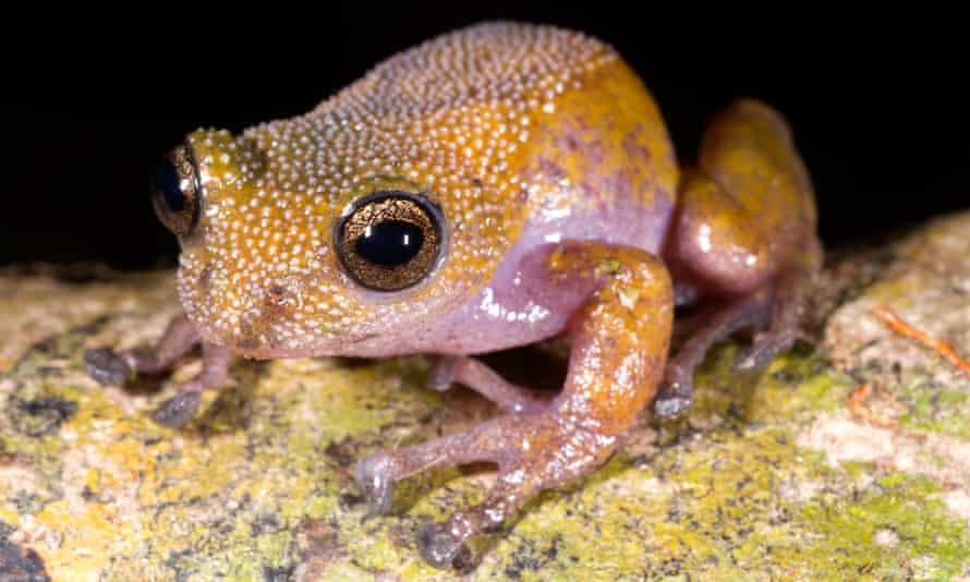 Gracixalus lumarius frog