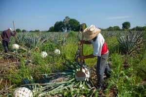 Jimadors like Harmando can harvest up to 250 agave plants per day, at an average of 2-3 minutes per plant. Using the same method they have done since 1600, they cut the bitter leaves from the piñas- the white pineapples at the heart of the agave- to Patrón's exact specifications