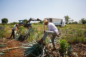 There are five tequila-growing regions in Mexico. Patron sources their premium agave from the north western highlands of Jalisco. The popularity of Patron means they harvest around three and half million plants a year to meet international demand