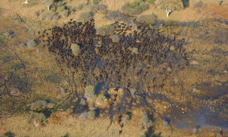 A herd of African buffalo in the Okavango Delta from the air.