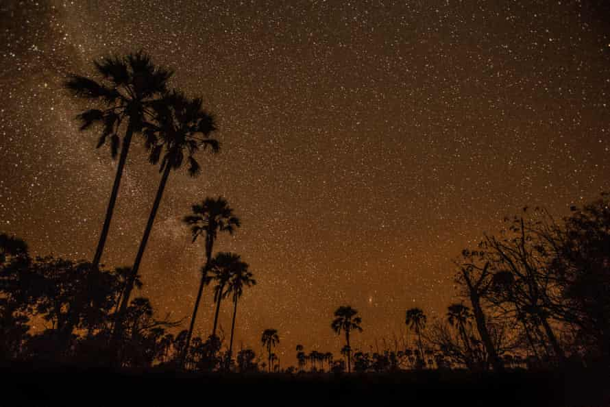 A stand of lala palms against the stars in the Okavango Delta.