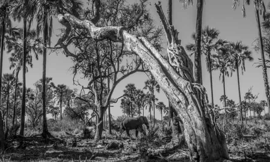 Elephant in the Okavango Delta, one of the great strongholds for the species.