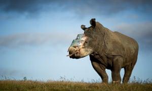 A four-year old female rhino