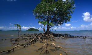 Mangrove tree on dunk island