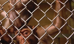 Monkey in cage used for Aids research