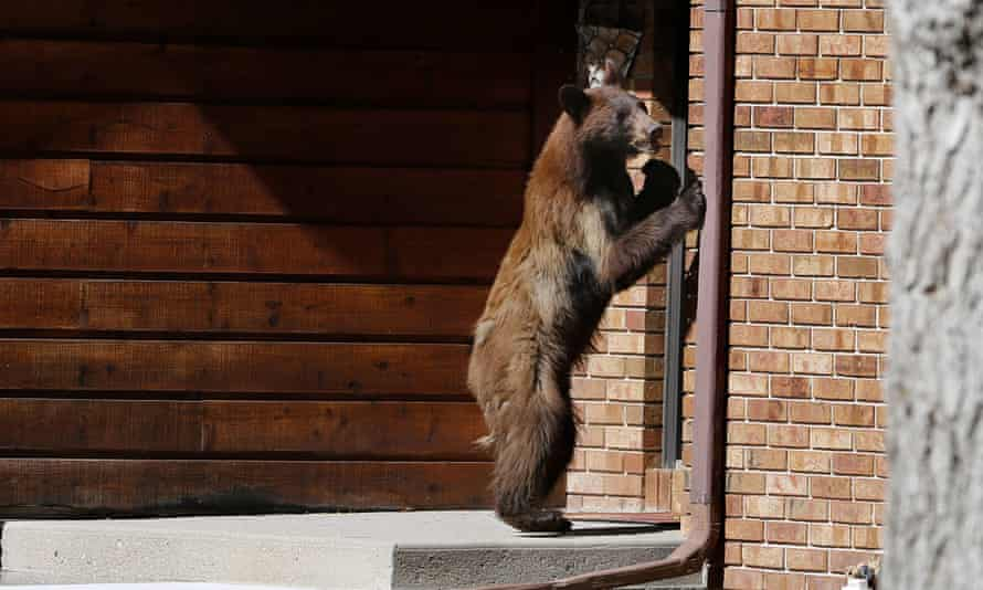 A yearling black bear stands up against the side of a house in Casper, Wyoming.