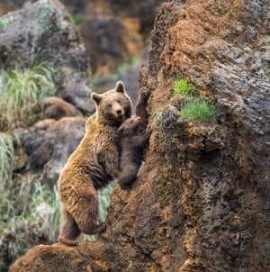 The bear cub is taught climbing techniques by its mother in the Cabarceno Wildlife Park, Cantabria, Spain