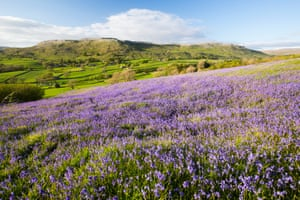 A blanket of bluebells cover the Yorkshire Dales